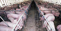 pigs_on_factory_farm